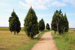 Evergreen tree thuja, arborvitaes stock photos