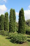 Evergreen tree thuja stock images