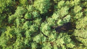 Evergreen tree tops from above. From above shot taken with drone of bright tree tops of coniferous forest in bright sunlight in summertime stock video footage