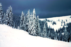 Evergreen trees Royalty Free Stock Image
