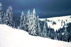 Evergreen Trees Royalty Free Stock Image