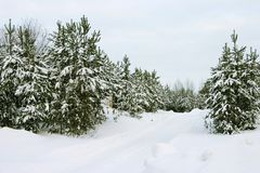 Evergreen trees Stock Photography
