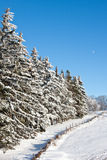 Evergreen Trees along a fence in Winter Stock Images
