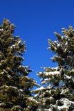 Evergreen trees on blue sky Stock Photo