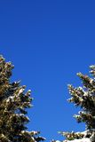 Evergreen trees on blue sky Royalty Free Stock Images