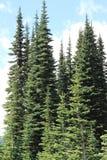 Evergreen trees. Of Cascade range of mountain Washington State America stock image