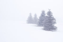 Evergreen Trees In Fog royalty free stock images