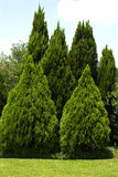 Evergreen trees in green yard. Evergreen trees in very green yard Royalty Free Stock Image