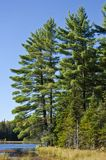 Evergreen Trees by a Lake Stock Image