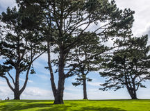 Evergreen trees of the pine family shadow on English lawn. Royalty Free Stock Photo
