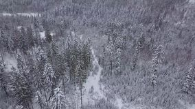 Evergreen trees in silent white winter. Amazing view from drone of spacious forest with coniferous trees under white frost in gloomy weather of winter in Poland stock footage