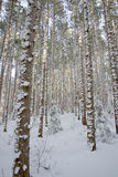 Evergreen Trees with Snow On Bark. A Michigan forest with snow built up on the bark of evergreen trees Stock Images