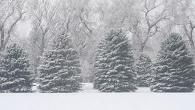Evergreen Trees in Snowstorm
