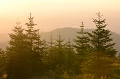 Evergreen trees at sunset. Mountain forest.