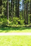 Evergreen trees. View of a evergreen trees at Silver falls region of oregon state america Royalty Free Stock Photo