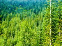 Evergreen Trees fading away into the Valley. Evergreen trees of Washington State Fade from light green to a darker bluer shade royalty free stock photos