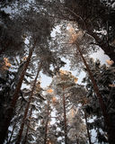 Evergreen trees in winter Royalty Free Stock Images
