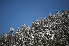Evergreen trees in winter time Royalty Free Stock Photos