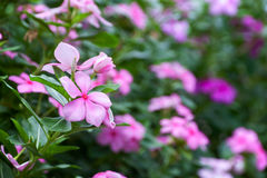 Evergreen Vinca Flower. And leaves green background Royalty Free Stock Photos