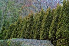 Evergreen Wall. A neighbor's front yard on a street in Suffolk County, Long Island Stock Images