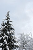 Evergreen in the winter Royalty Free Stock Images