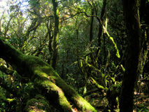 Evergreen woods in la Gomera island. Typical evergreen forest in La Gomera (Canary islands, Spain), with green moss covering the trees Stock Photos