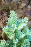 Evergreen young blue christmas tree brunch Royalty Free Stock Photography
