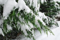 Evergreenfilialer som täckas i snö Arkivfoto