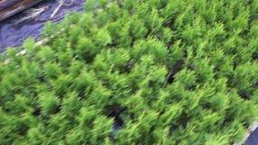 Evergreens και thuja που στέκονται στις σειρές σε ένα θερμοκήπιο σε έναν βρεφικό σταθμό για την ανάπτυξη και την πώληση των σπορο απόθεμα βίντεο