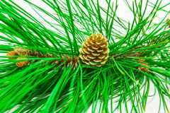 Evergreens Stock Foto