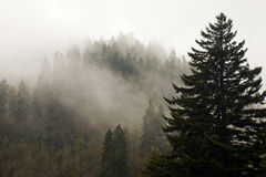 Evergreens, Autumn, Great Smoky Mountains Stock Image