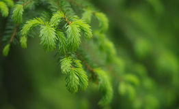 Evergreens branch in spring. Evergreens or fir or brad branch in spring in the forest. Blurred background stock image