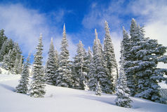Evergreens covered in snow. Evergreens covered with a fresh snowfall in mountains royalty free stock image