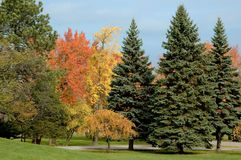 Evergreens and Fall Foliage Royalty Free Stock Photography