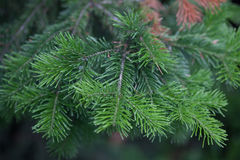 Evergreens Stock Images