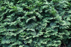 Evergreens Royalty Free Stock Photography