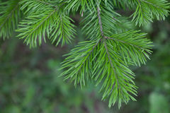 Evergreens Stock Photos