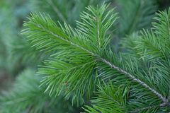Evergreens Stock Image
