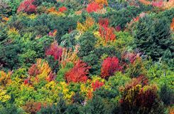 AUTUMN-FALL- Vibrant Fall Foliage Colors on a NY Hillside royalty free stock photos