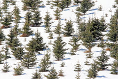 Evergreens in snow Berkshires Massachusetts. Evergreens and snow in winter royalty free stock image