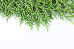 Evergreensidor med utrymmetext under Royaltyfri Bild