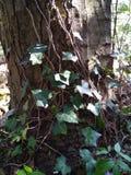 Evergrin murgröna Royaltyfria Bilder