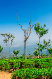 Everlasting blue. The Nilgiri region is remowned for its tea and most of the areas in ooty is sorrounded with the tea plantation. The tea estate or plantation is royalty free stock photos