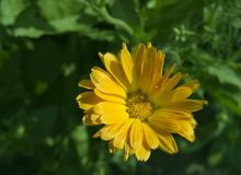 Everlasting flower. Close up of yelow flower, leaves at background royalty free stock photography