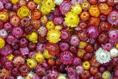 Everlasting flower background. Background of colorful everlasting flowers Royalty Free Stock Photos