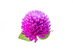 Everlasting flower. Close up of globe amaranth flower in white background Royalty Free Stock Photography
