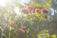 Everlasting flower Royalty Free Stock Photo