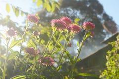 Everlasting flower Stock Photo