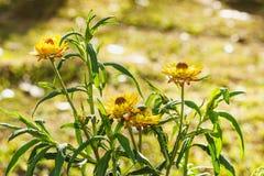 Everlasting flower Stock Photography
