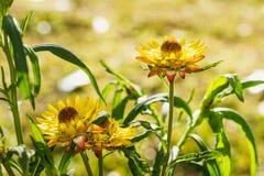 Everlasting flower Stock Image